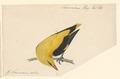 Oriolus galbula - 1840 - Print - Iconographia Zoologica - Special Collections University of Amsterdam - UBA01 IZA1000583.tif
