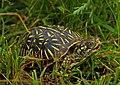 Ornate Box Turtle (Terrapene ornata) (48070252612).jpg