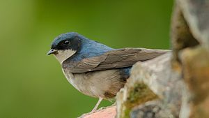 Brown-bellied swallow - Image: Orochelidon murina