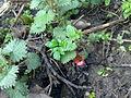 Orties et rhubarbe dans l'enfance.jpg
