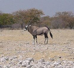 Oryx gazella 1.jpg