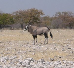 Spießbock (Oryx gazella)