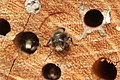 Osmia cornuta (33617234442).jpg
