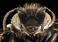 Osmia trevoris, F, Park Co., Wyoming, face 2015-11-20-23.57.28 ZS PMax UDR (23470388586).jpg