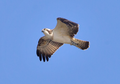 Osprey 31-Aug-2013.png