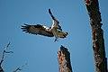 Osprey Cleared for Landing (7415643054).jpg