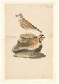 Otocoris alpestris - 1840 - Print - Iconographia Zoologica - Special Collections University of Amsterdam - UBA01 IZA1000574.tif