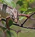 Oustalet's chameleon (Furcifer oustaleti) male feeding Anja Community Reserve 2e.jpg