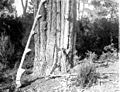 Outils du résinier, Forêt de Cageaux, septembre (5412355959).jpg