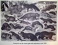 Overzicht van de meest gebruikte pelsdieren rond 1900 (1).jpg