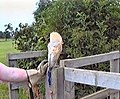 Owl at Cusworth - geograph.org.uk - 1366960.jpg