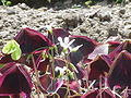 Oxalis triangularis4.jpg