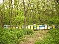 Pčele na bagremu - panoramio.jpg