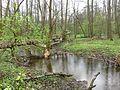PR Úhlavský luh, vzrostlý strom pokácený bobrem ležící přes rameno Úhlavy, 1, duben 2017.jpg