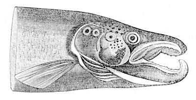 PSM V04 D040 Head of a kelt.jpg