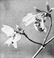 PSM V51 D328 Bumblebee upon dogwood flower.png