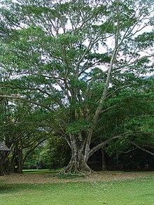 Inga feuillei no Jardim Botânico Ho'omaluhia, em Oahu, no Havaí, nos Estados Unidos