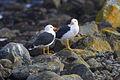 Pacific Gulls - Tasmania S4E5535 (21782965303).jpg