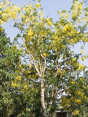 National symbols of Myanmar - Image: Padauk flower