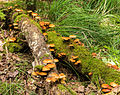 Paddenstoelen op dood hout. Locatie, Stuttebosch in de lendevallei. Provincie Friesland 02.jpg