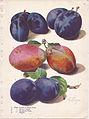 Page 13 plum - Italian Prune, Moores Arctic, Hungarian Prune, Niagra.jpg