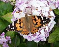 Painted Lady on Hydrangea - geograph.org.uk - 1403603.jpg