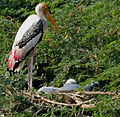 Painted Stork (Mycteria leucocephala)- with juveniles at nest W2 IMG 7214.jpg