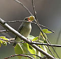 Pale-billed Flowerpecker (Dicaeum erythrorhynchos) with a Singapur cherry (Muntingia calabura) in Hyderabad, AP W IMG 7754.jpg