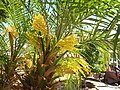 Palm Flowers (34357434980).jpg