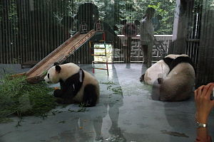 Shanghai Zoo - Image: Panda from shanghai zoo behind glass