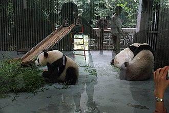 Shanghai Zoo - Image: Panda from shanghai zoo behind glass