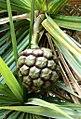 Pandanus heterocarpus fruit- Francois Leguat Rodrigues.jpg