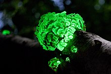 A cluster of bright green glowing mushroom caps growing on a log. The remainder of the photo is dark, but suggests there are trees around.
