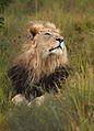 Panthera leo 1 (Martin Mecnarowski).jpg