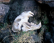 Skull of a modern lion at Kruger National Park