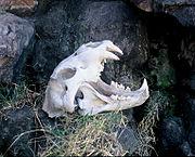 Skull of a modern lion at Kruger National Park