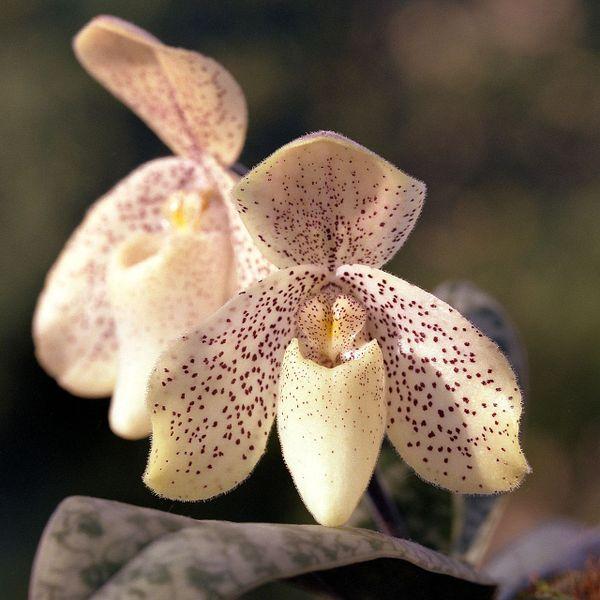 File:Paphiopedilum concolor Orchi 01.jpg
