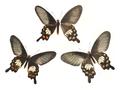 Papilio aristolochiae wsf 442.png