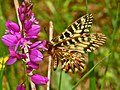 Papilionidae - Zerynthia polyxena-1.JPG