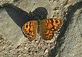 Papillon la mégère ou le satyre 2.jpg