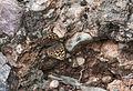 Pararge aegeria - Karanlık Ormanesmeri - Speckled Wood 02.jpg