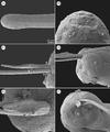 Parasite170008-fig3 - Philometra rara Moravec et al., 2017 - SEM of males.png