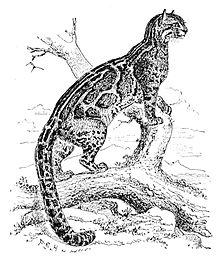 Connaître son animal totem dans Méditation 220px-Pardofelis_marmorata_1888