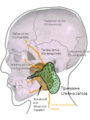 Parotid gland uk.png