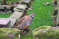 Partridge in the garden of Keepers Cottage - geograph.org.uk - 1537151.jpg