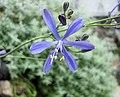 Pasithea caerulea -日本大阪鮮花競放館 Osaka Sakuya Konohana Kan, Japan- (41485201184).jpg