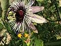 Passiflora 'Cobalt Dust'.jpg