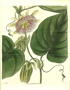 Sötgrenadill (Passiflora ligularis)