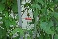 Passiflora sanguinolenta 0zz.jpg