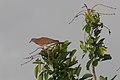 Patagioenas cayennensis -Panama-6.jpg